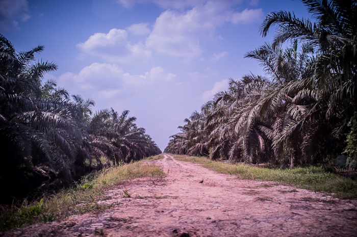 Palm oil plantation site in Jambi Province, Indonesia. September 2013 © Alessandro Rota