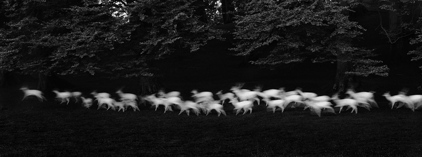 Paul Caponigro (b. 1932), Running White Deer, Wicklow, Ireland, 1967, gelatin silver print, 7 1/2 u00d7 19 1/8 in. © Paul Caponigro.rn