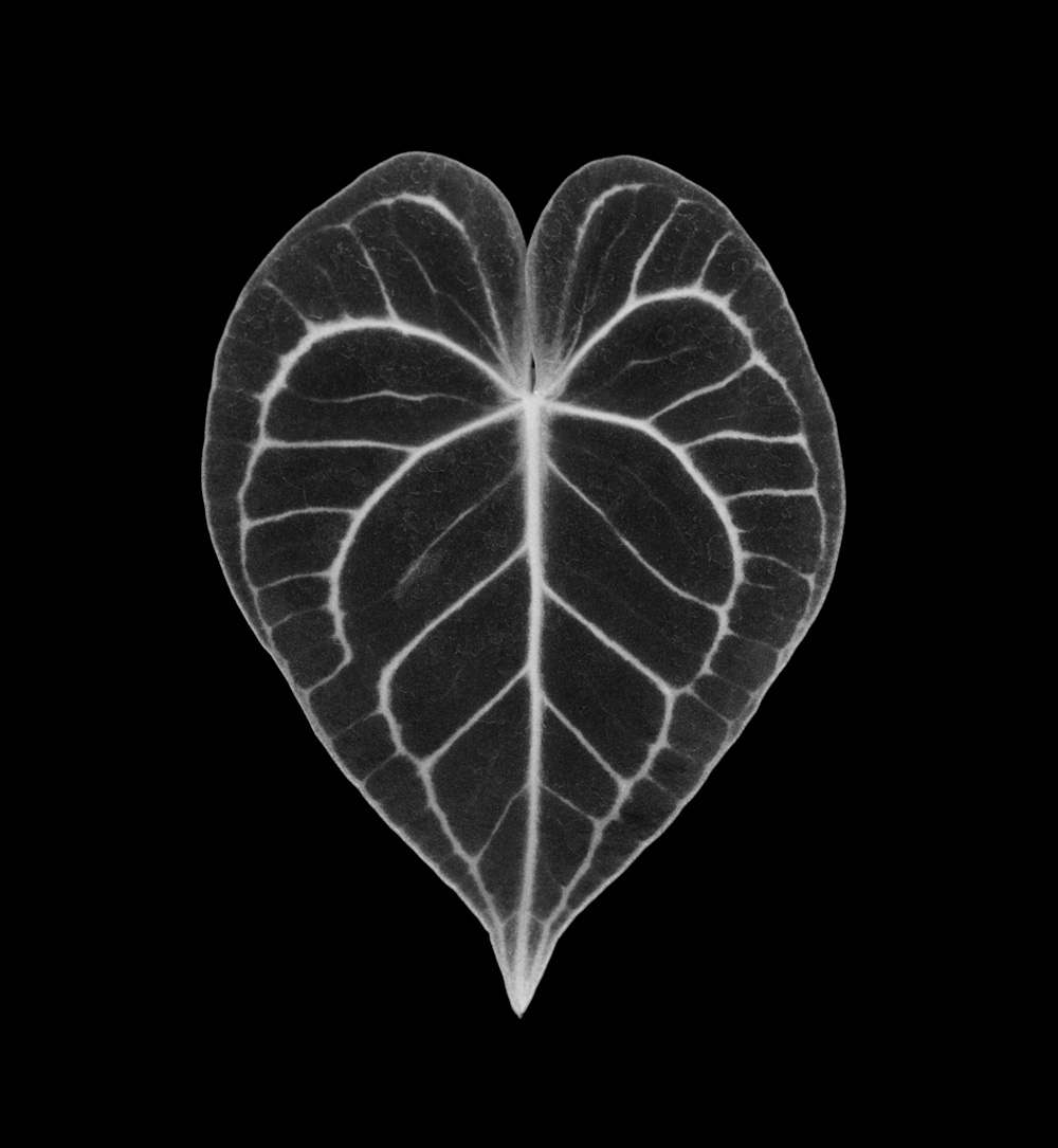 Anthurium Crystallinum  © Mariana Cook