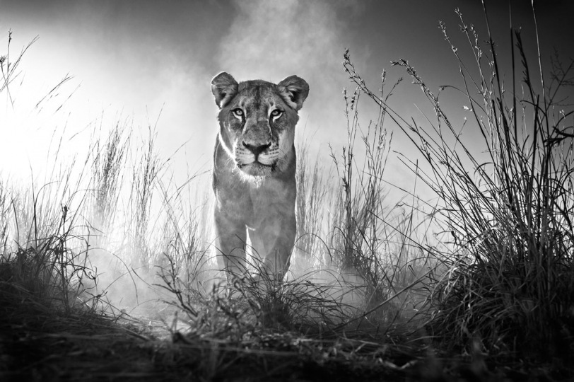 Gladiator, Dinokeng, South Africa, 2015 © David Yarrow