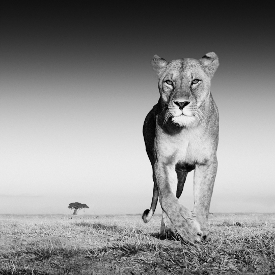 The Prize, Amboseli, Kenya, 2013 © David Yarrow