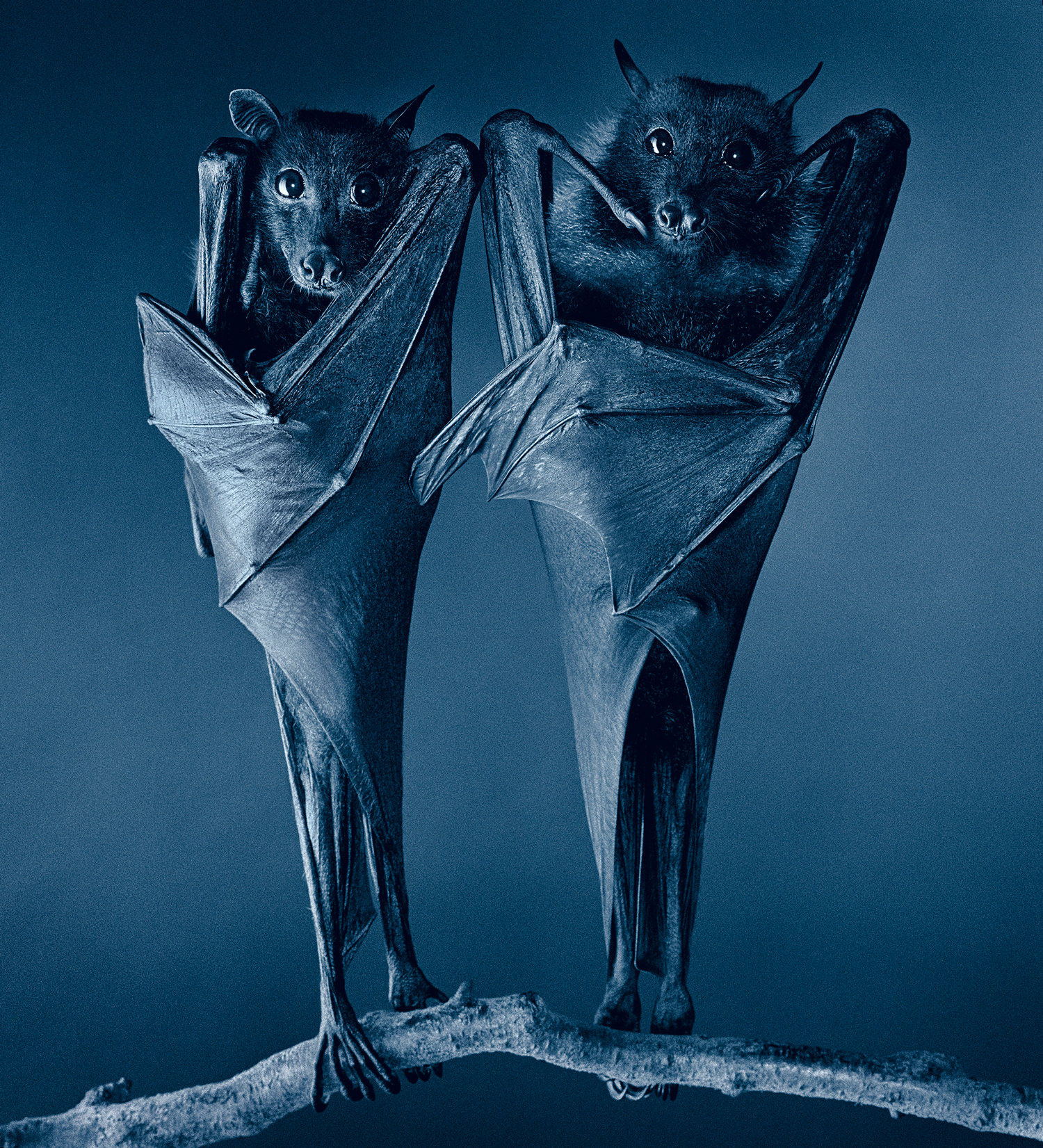 Egyptian Bats 2000 © Tim Flach
