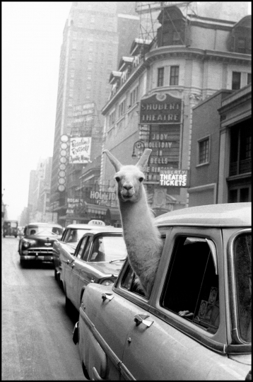A llama in Times Square, New York, 1957 © Inge Morath / Magnum Photos