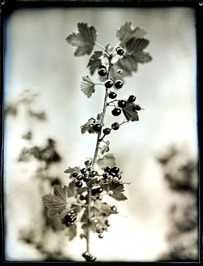 Jerry Spagnoli: Black Currants, 2005, archival pigment print from daguerreotype original, signed verso, image size: 13.5˝x10.5˝, sheet size: 17˝x14˝ ($900–$1,800) From the book Heirloom Harvest, Bloomsbury, 2016.