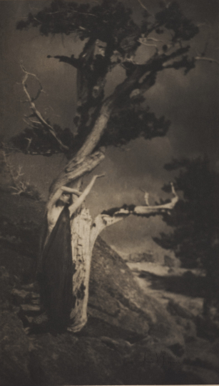 The Dying Cedar, negative 1906, gelatin silver print, 9 5/16 x 6 9/16 inches. The Michael G. and C. Jane Wilson 2007 Trust