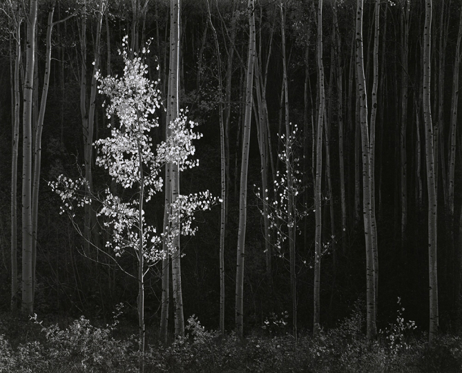 Ansel Adams, Aspens, Northern New Mexico, 1958, Gelatin silver print, printed 1976 - Copyright The Ansel Adams Publishing Rights Trust