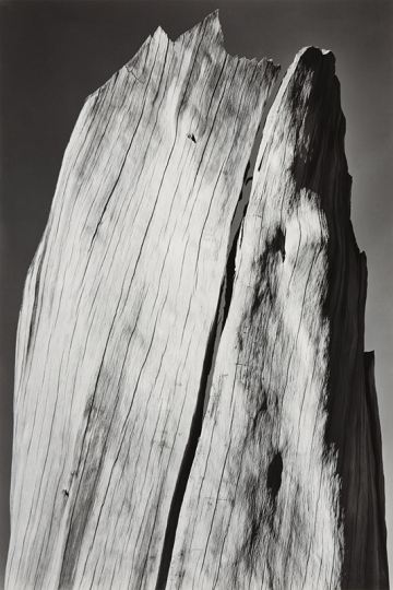 Ansel Adams, White Stump, Sierra Nevada, California From Portfolio V, c. 1936, Silver print mounted to Strathmore board 14 x 18.5 inches - Copyright The Ansel Adams Publishing Rights Trust