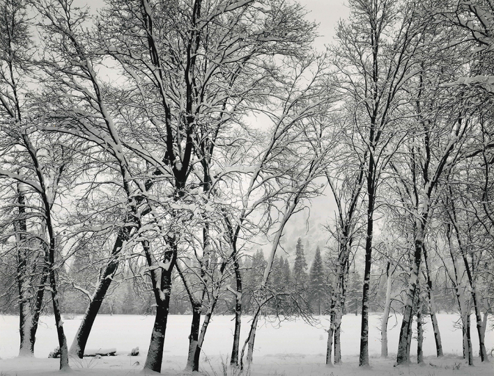 Ansel Adams, Young Oaks, Winter, 1935, Silver print 7.5 x 9.375 inches - Copyright The Ansel Adams Publishing Rights Trust