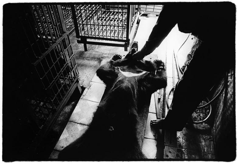 Après avoir été tranquillisé, un ours est sorti de sa cage et placé sur un chariot pour ensuite extraire la bile de sa vésicule biliaire. Vietnam, 2003 After being tranquilised, a bear is removed from its cage and placed on a trolley in order to have the bile extracted from its gall bladder. Vietnam 2003.