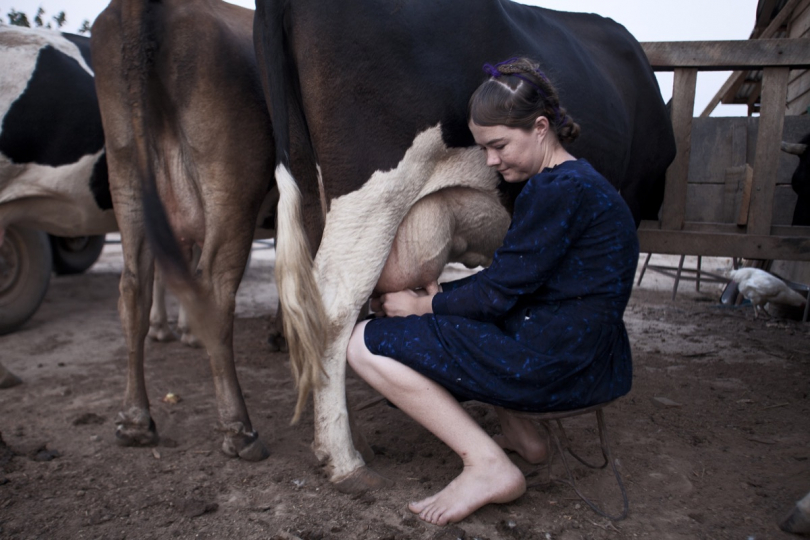 Milking. Revenues on milk and cheese sales are amongst the most important sources of income for Mennonites living in colonies. © Jordi Ruiz Cicera