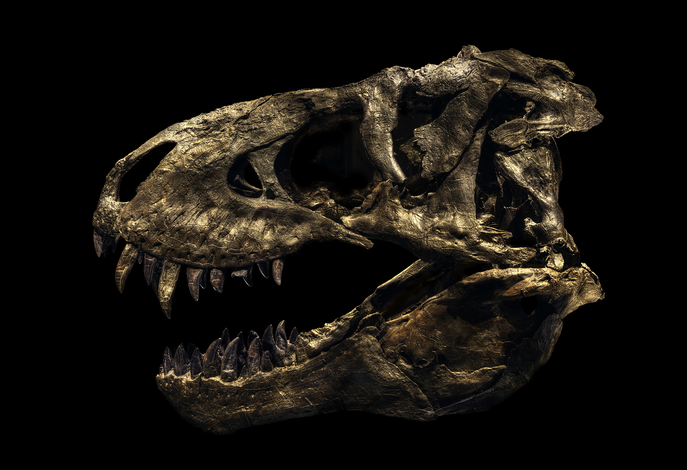 Tyrannosaurus Rex Tristan © Christian Voigt – Courtesy Wanrooij Gallery