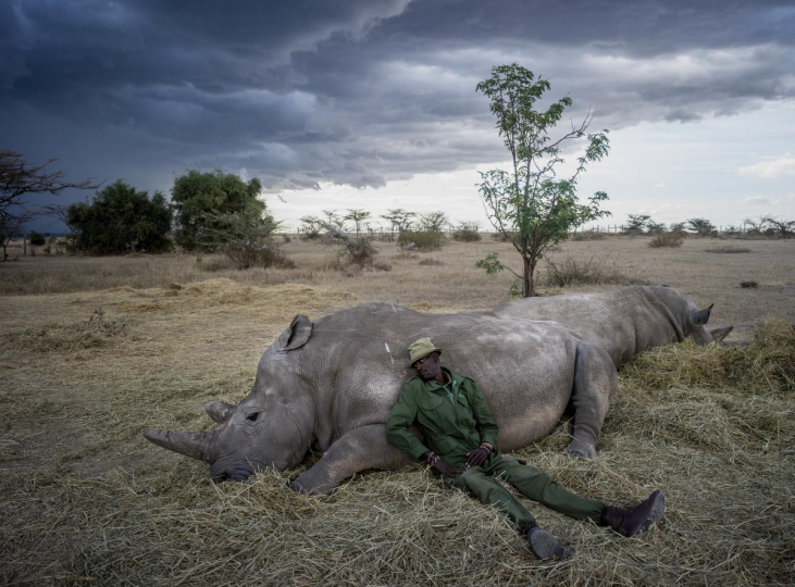 Peter Esegon, 47, one of the primary rhino caretakers relaxes with Najin and Fatu as the sun sets at Ol Pejeta conservancy in Central Kenya, 2018 © Justin Mott, courtesy Anastasia Photo, New York.