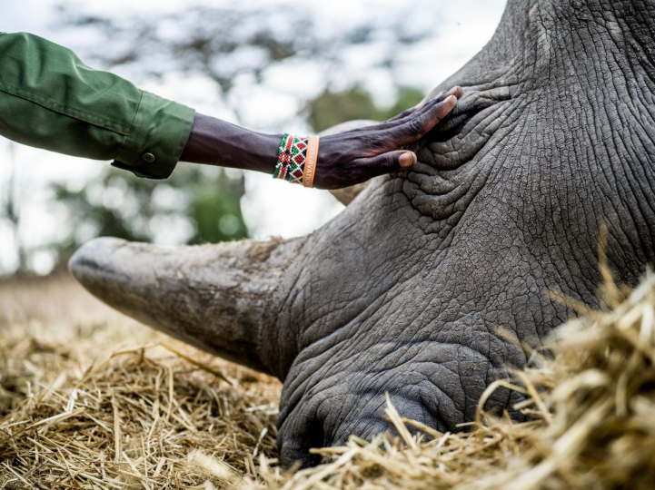 Peter Esegon, 47, one of the primary rhino caretakers pets Najin while she rests in her holding area, 2018 © Justin Mott, courtesy Anastasia Photo, New York.