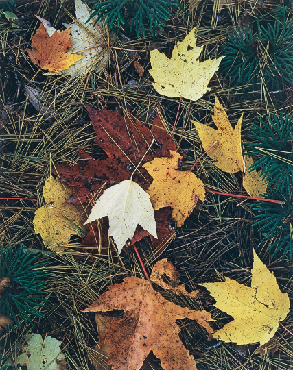 Eliot Porter (1901 - 1990) Maple Leaves and Pine Needles, Tamworth, New Hampshire, 1956 Vintage dye-transfer print Image: 10 11/16 x 8 7/16