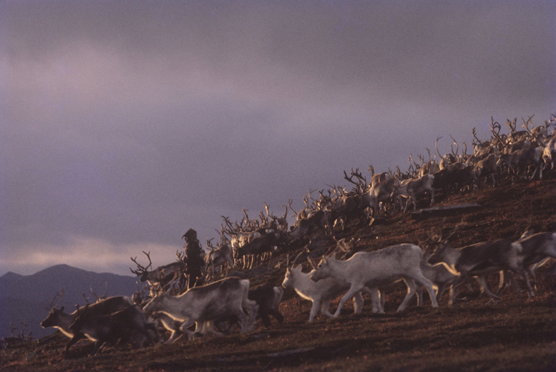 Reindeer Migration Post Easter, 1960, Kautekeino, Norway © Fred Baldwin