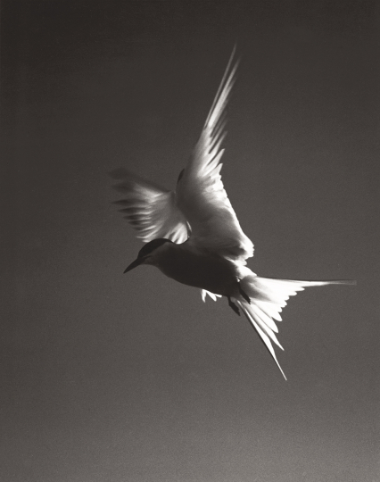 Eliot Porter (1901 - 1990) Arctic Tern, c. 1936 Vintage gelatin silver print Flush-mounted, signed by the photographer in ink and with the photographer's stamp, numbered '2-2-5-13' and titled in ink and annotated 'Photo #7-A in red ink, on the reverse.