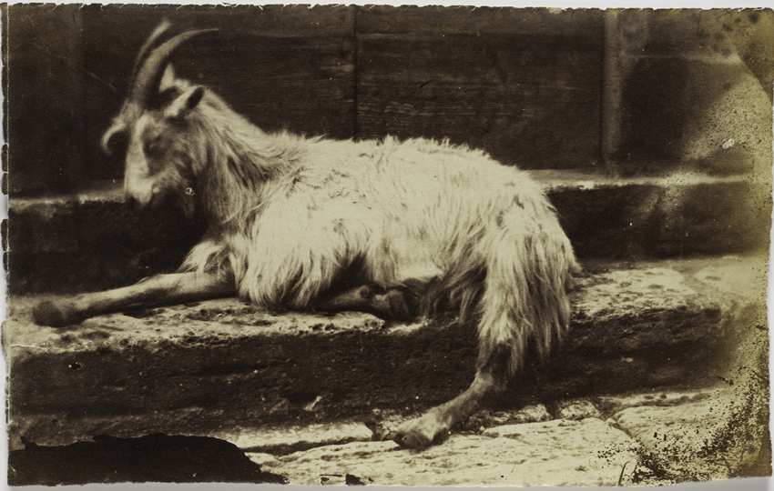 Circle of Giacomo CANEVA (Italian, 1813-1865) Reclining goat in Rome, 1850s Albumen print from a collodion negative, 13.3 x 21.3 cm - Courtesy Hans P. Kraus Jr. Fine Photographs