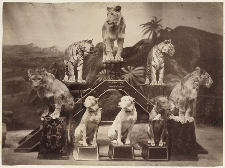 Peter NISSEN (German), Circus animals from Carl Hagenbeck's Zoological Circus, circa 1891. Albumen print, 17.2 x 23.0 cm - Courtesy Hans P. Kraus Jr. Fine Photographs