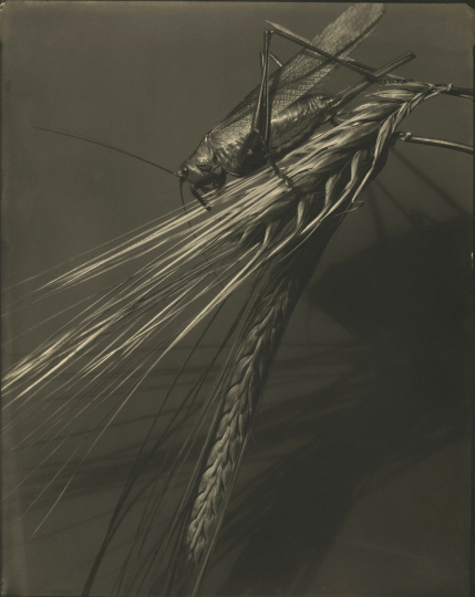 Edward STEICHEN (American, born in Luxembourg, 1879-1973) Grasshopper and wheat stalk, circa 1921 Toned gelatin silver print, 24.3 x 19.3 cm - Courtesy Hans P. Kraus Jr. Fine Photographs